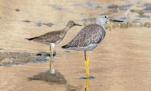 Solitary Sandpiper & Greater Yellowlegs